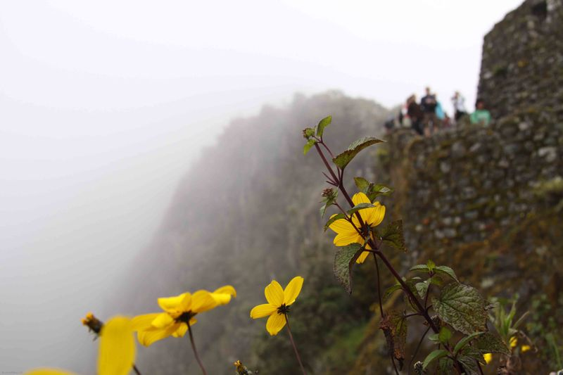 Yellow flowers in a Inca ruin