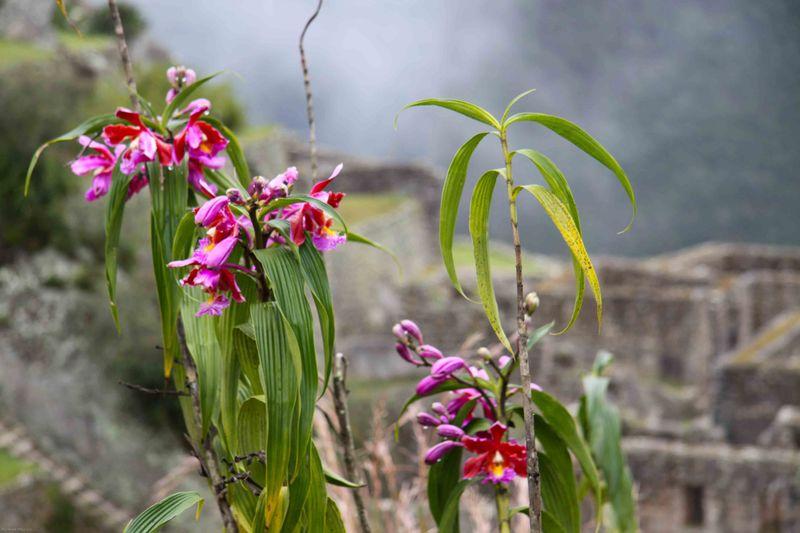 Orchids at Machu Picchu