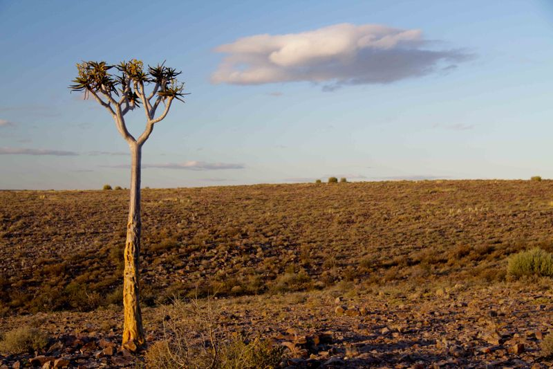 Tree on the edge of Fish River Canyon. Namibia