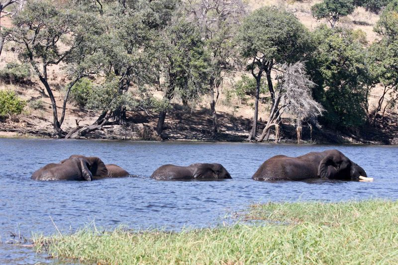 Elephants swimming across the Chobe River