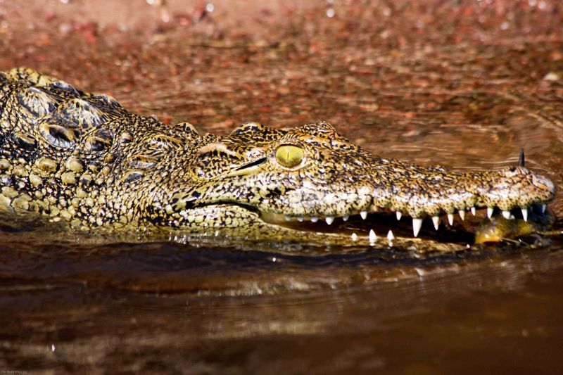 Baby Croc. Chobe National Park, Botswana