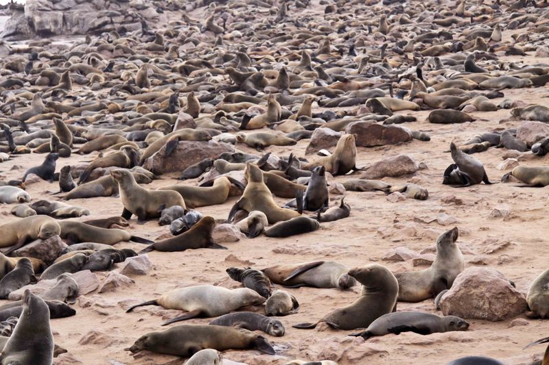 What does a 100,000 seals smell like? Cape Cross, Namibia