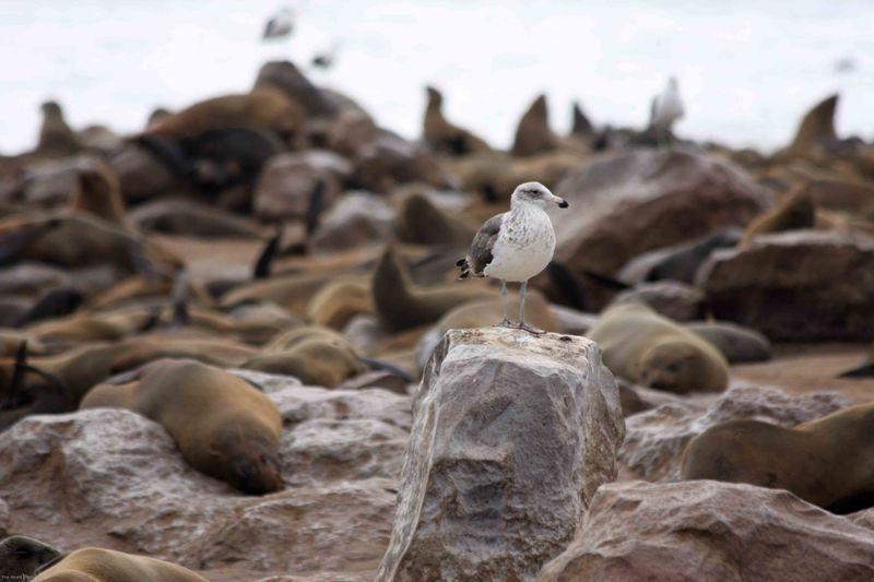 Cape Cross seagull