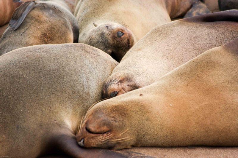 Cape Cross Brown Fur Seal sleepy time