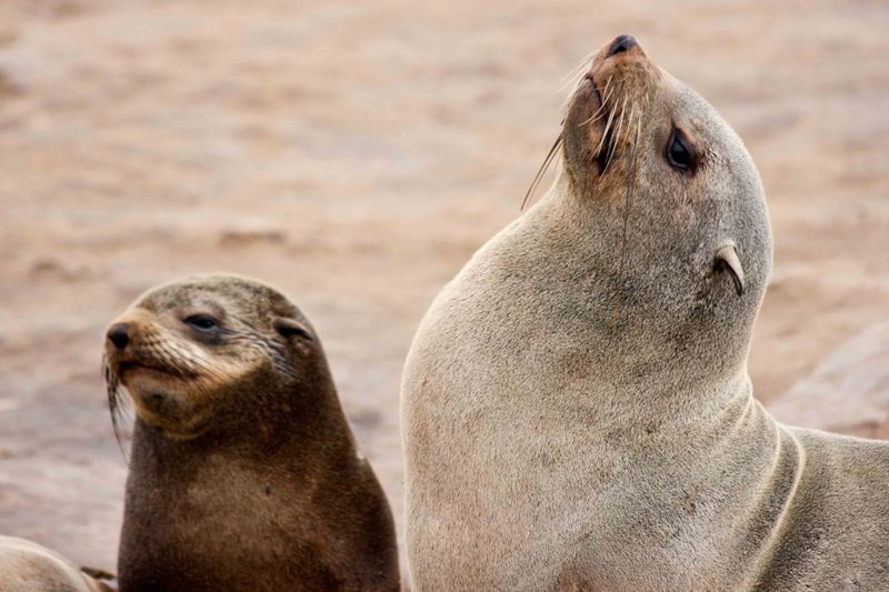 Cape Cross Brown Fur Seal cow and pup