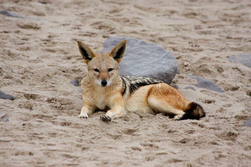 Cape Cross jackal