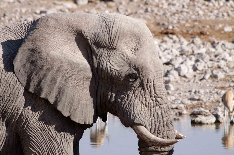 Etosha, Namibia Elephant up close