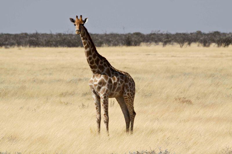 Etosha, Namibia Giraffe