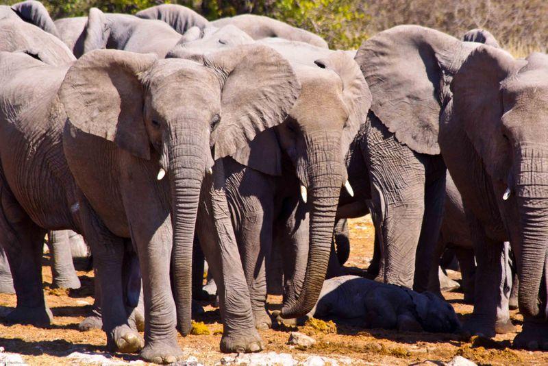 Etosha, Namibia Elephant herd at watering hole