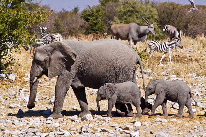 Etosha, Namibia Mom and babies Elephants