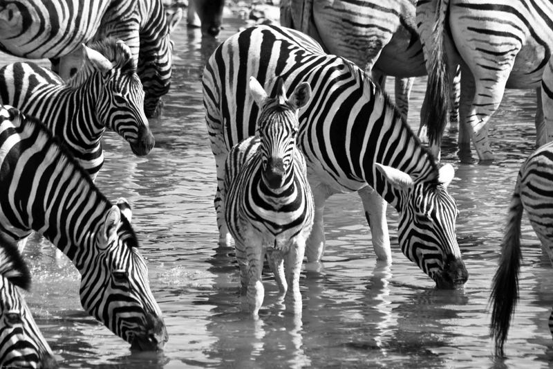 Etosha, Namibia Zebra baby in herd