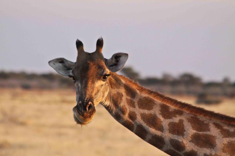 Etosha, Namibia Giraffe eyelashes