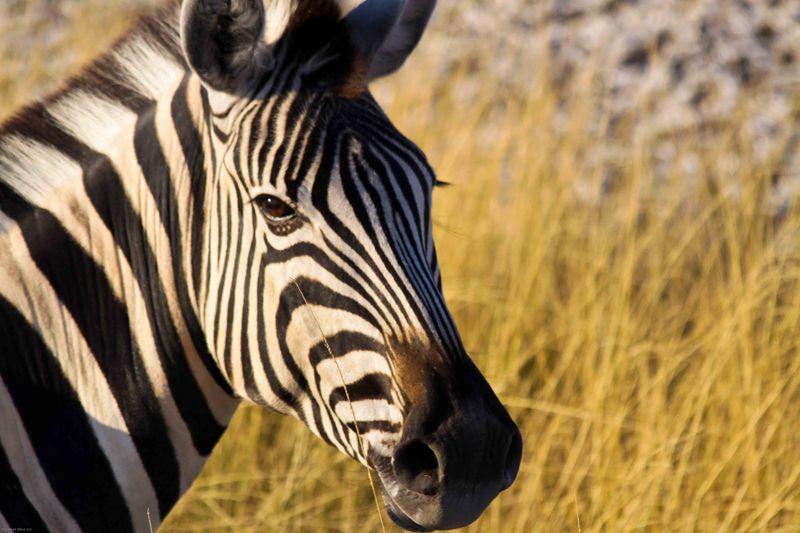 Etosha, Namibiba Zebra head shot
