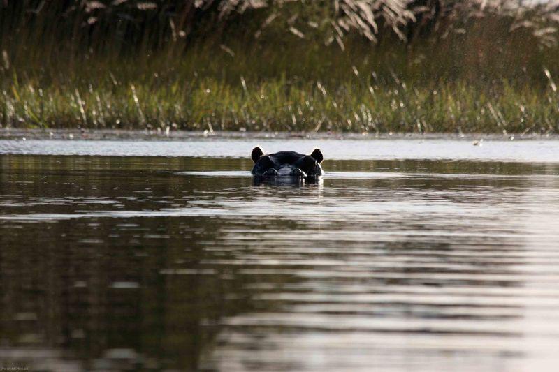 Okavango Delta - Hippo