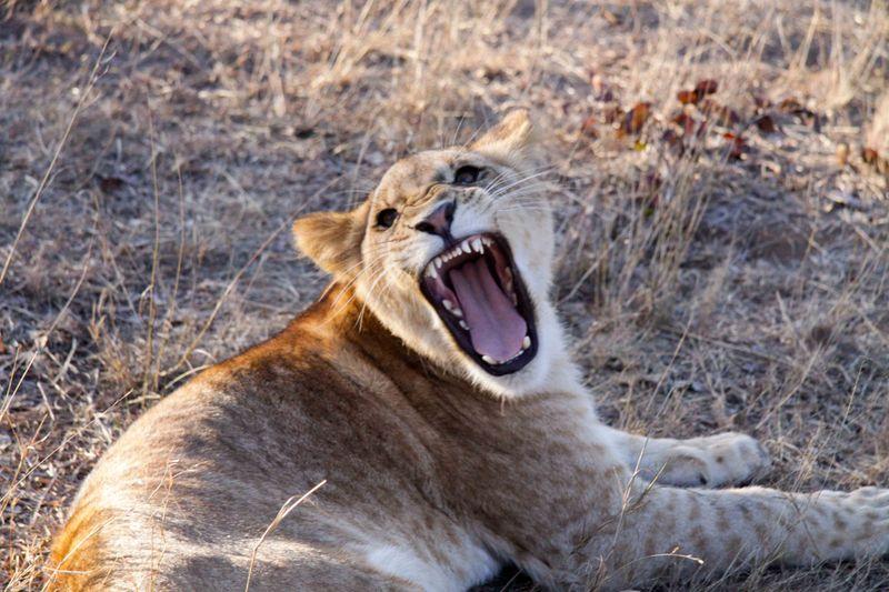 Livingstone, Zambia - Lion's morning yawn