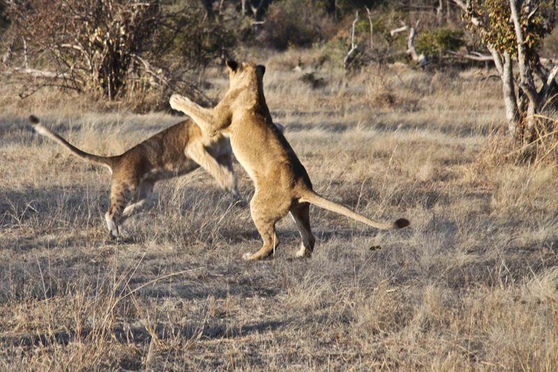 Livingstone, Zambia - lions playing