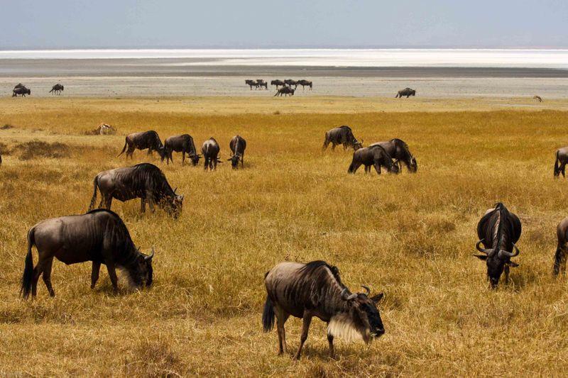 Ngorongoro Crater, Tanzania - wildebeest and salt flats