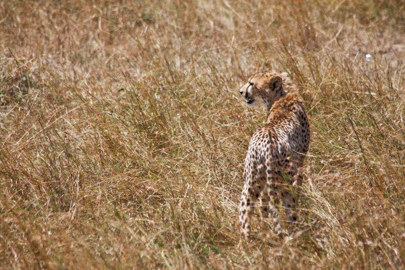 Masai Mara, Kenya - Cheetah on the move