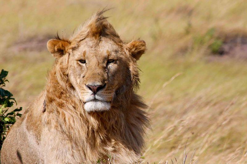 Masai Mara, Kenya - Male Lion