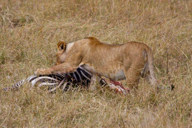 Masai Mara, Kenya - Lion with Zebra kill