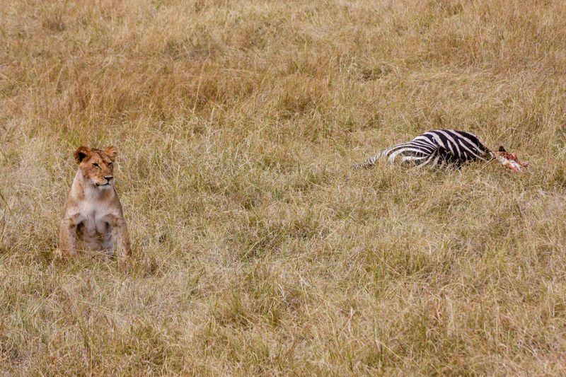 Masai Mara, Kenya - Lion standing watch