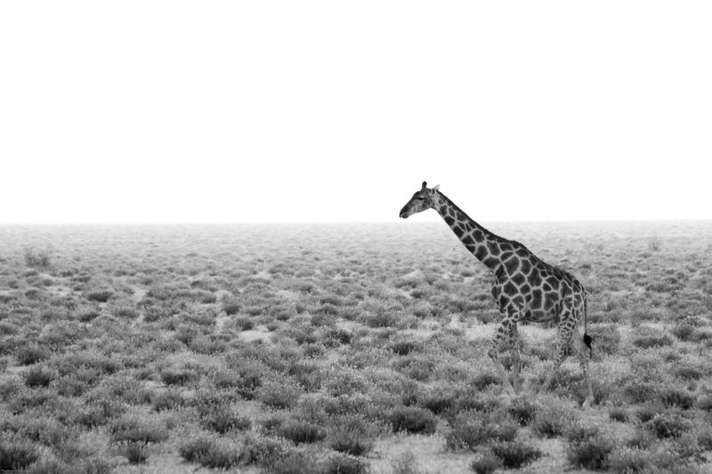 Etosha, Namibia Giraffe B&W
