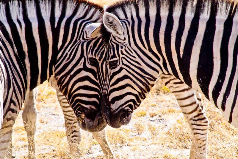 Etosha, Namibia Zebra Love