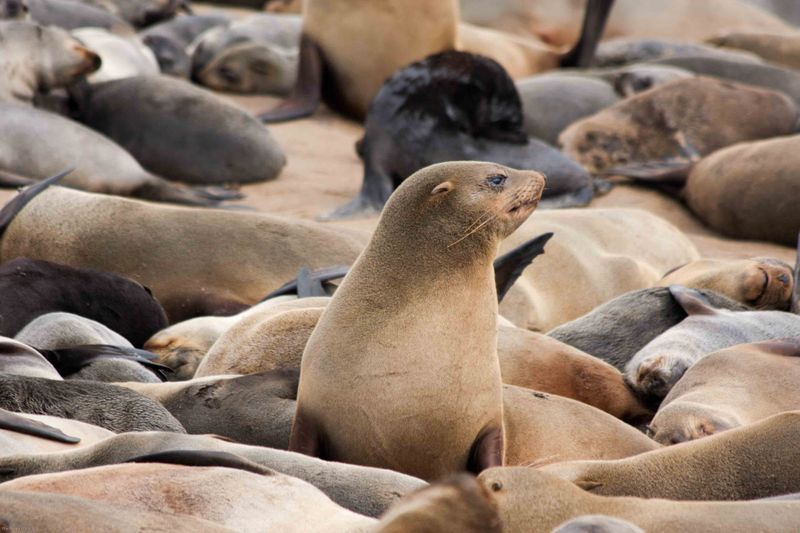 Cape Cross Brown Fur Seal