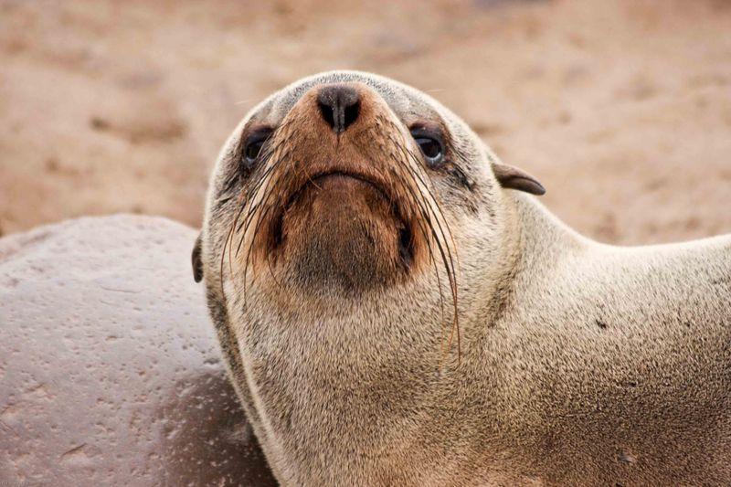 Cape Cross Brown Fur Seal Close up