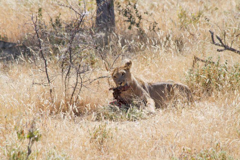 Etosha, Namibia Lion Breakfast