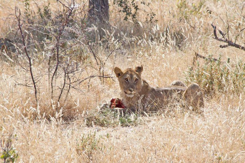 Etosha, Namibia Lion eating