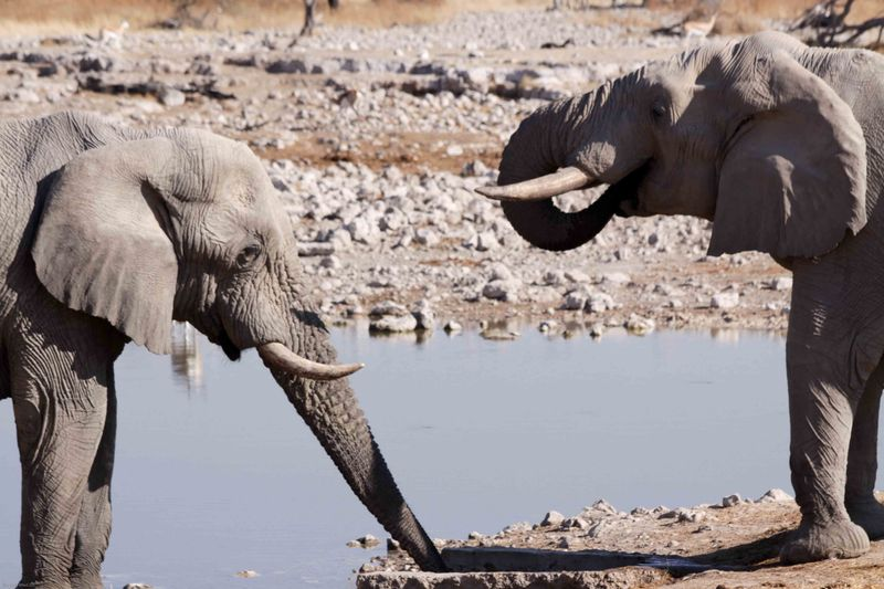 Etosha, Namibia Elephants by our camp