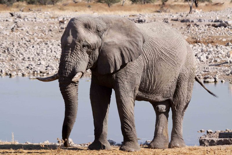 Etosha, Namibia Elephant