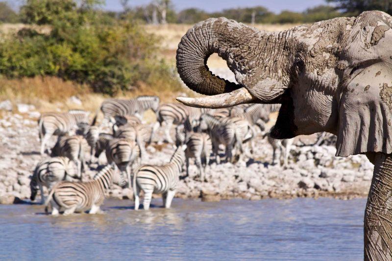 Etosha, Namibia Elephant and Zebras