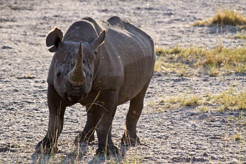 Etosha, Namibia Black Rhino