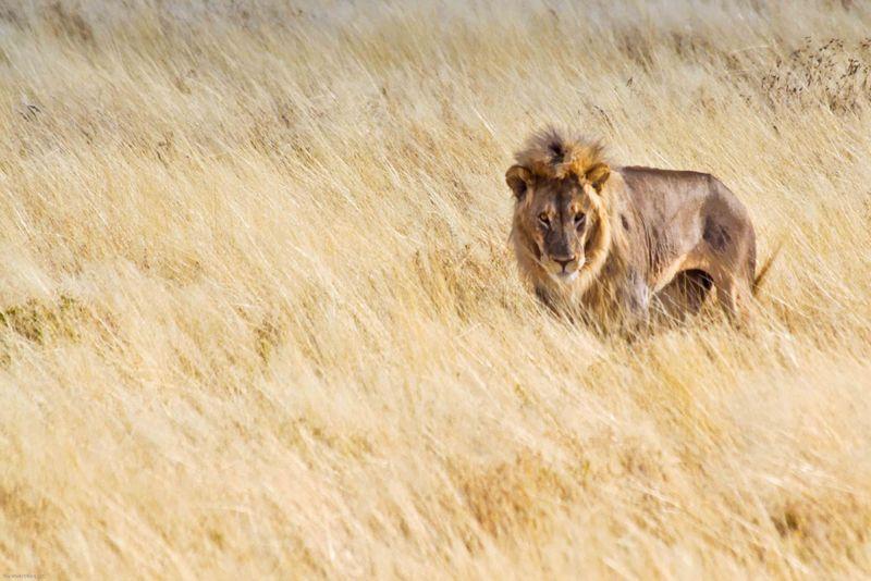 Etosha, Namibia Male Lion