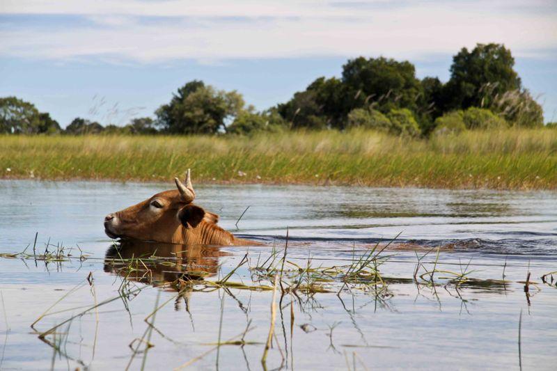 Okavango Delta - Cow crossing the water