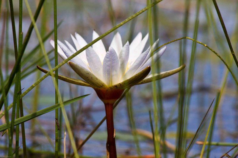 Okavango Delta - water lily