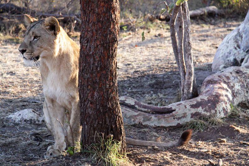 Livingstone, Zambia - lion by tree