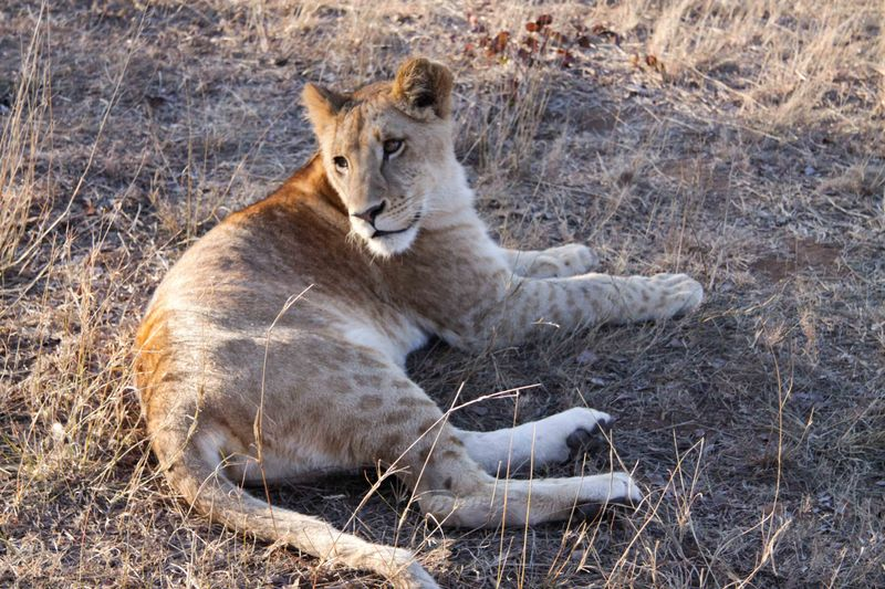 Livingstone, Zambia - early morning with lion