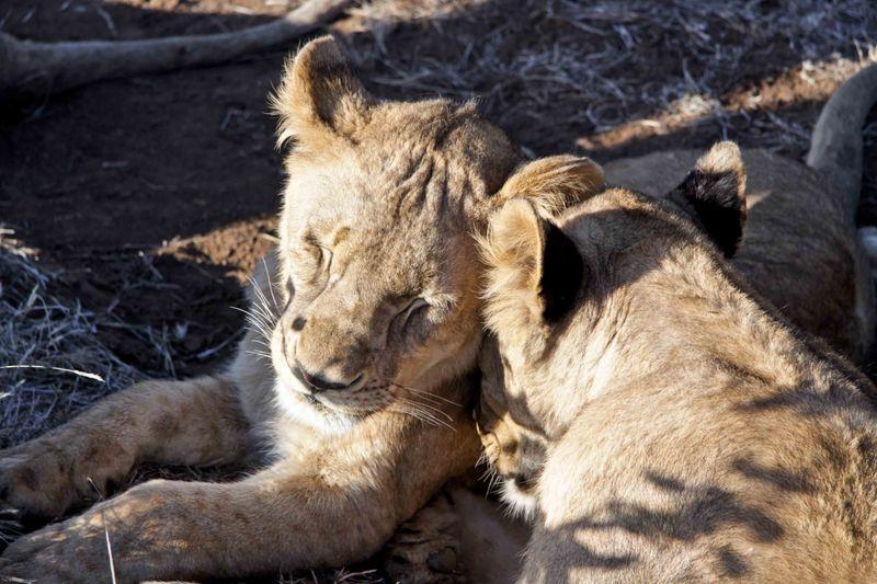 Livingstone, Botswana - snuggling lions