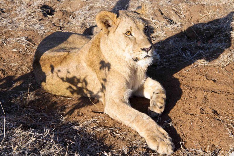 Livingstone, Zambia - lion