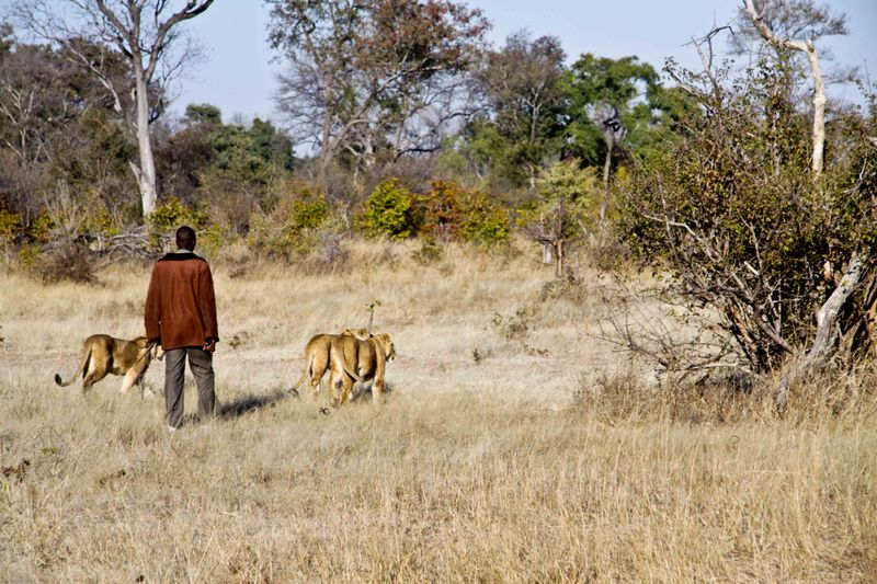 Livingstone, Zambia - lion researcher with lions