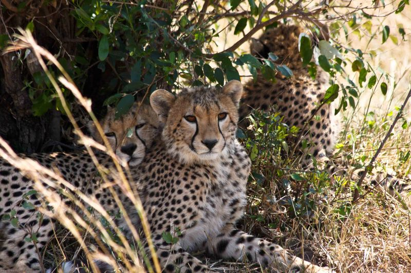 Masai Mara, Kenya - Cheetahs