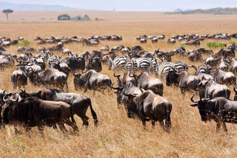 Masai Mara, Kenya - Wildebeest and Zebra herds