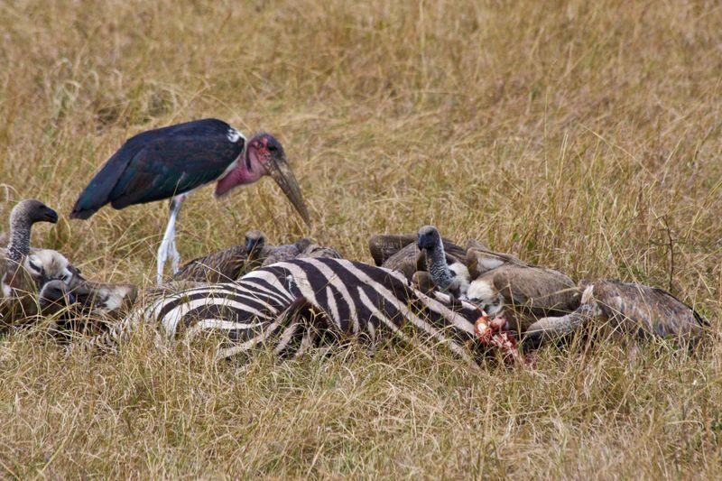 Masai Mara, Kenya - Birds getting some of the kill