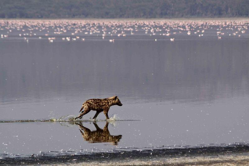Lake Nakuru, Kenya - Hyena hunting flamingos