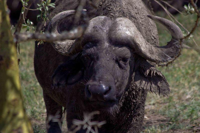 Lake Nakuru, Kenya Cape Buffalo