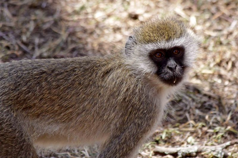 Lake Nakuru, Kenya Black Face Vervet Monkey