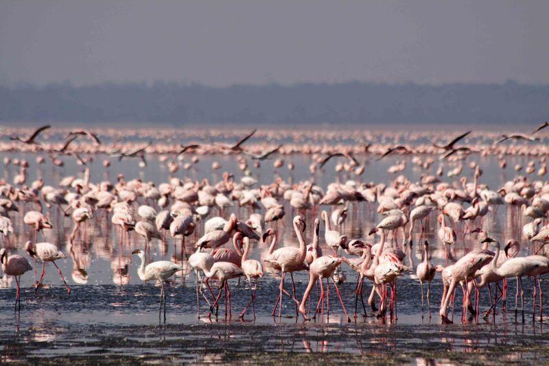 Lake Nakuru, Kenya Flamingo Fly Through